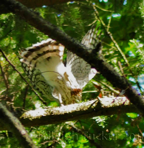 Juvenile Cooper's Hawk rotates on left foot while holding cone in right