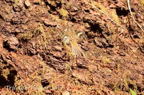 Brown Creeper in concealment posture - closeup