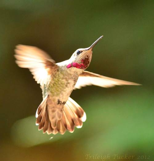 Anna's Hummingbird flashing gorget