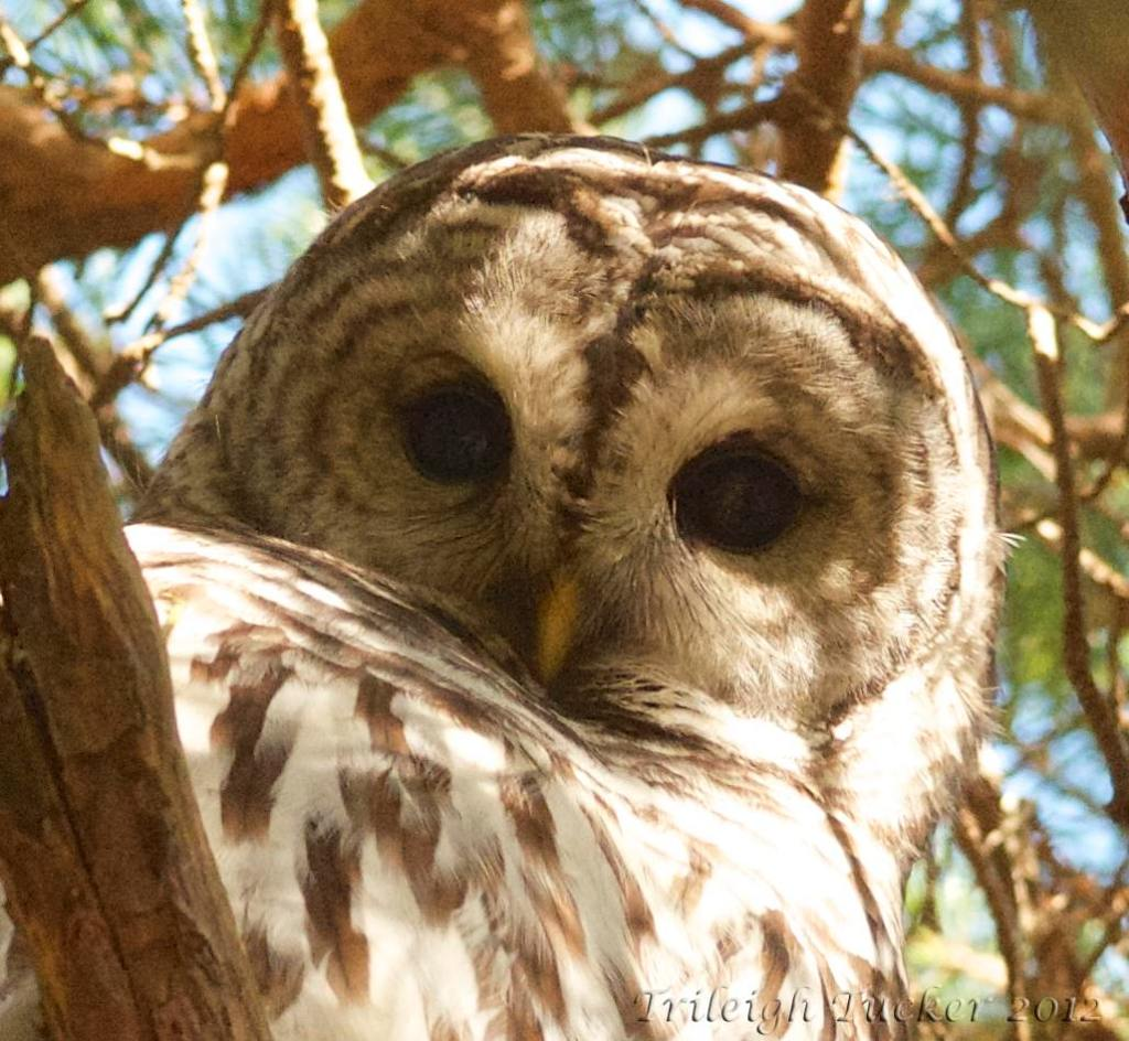The gaze of a Barred Owl