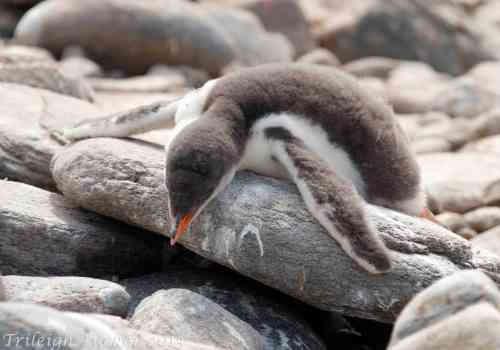 Chinstrap Penguin chick trying to cool off
