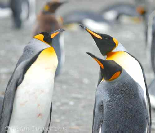 King Penguins in divorce confrontation