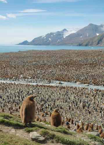 King Penguin colony, St. Andrew's Bay, South Georgia