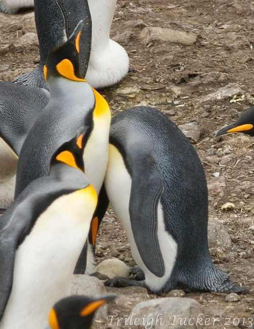 King Penguin egg swap, St Andrew's Bay, South Georgia