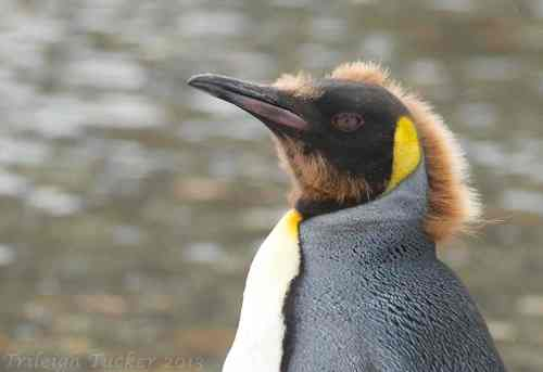 Juvenile King Penguin with last bits of immature fur