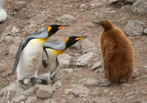 Mated King Penguins scolding juvenile observer