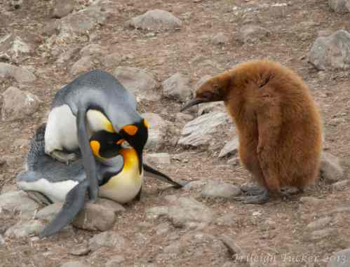 King Penguins mating as Oakum Boy watches