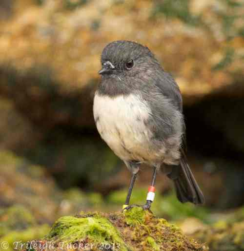 Endangered Stewart Island Robin (banded for research), Ulva Island