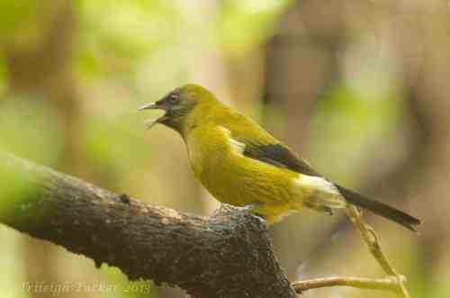 Bellbird in song, Ulva Island