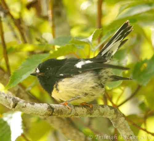 South Island Tomtit. (Photo taken on Stewart Island)