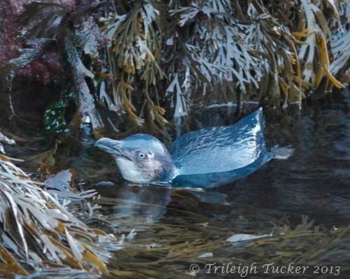Little Blue Penguin, Stewart Island, New Zealand