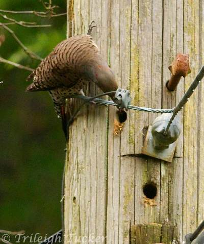 Northern Flicker examining hole