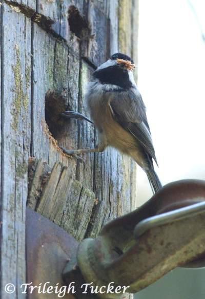 Black-capped Chickadee excavating nest hole