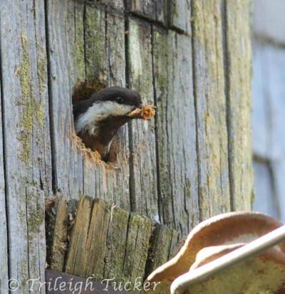 Chickadee peeking out of nest hole