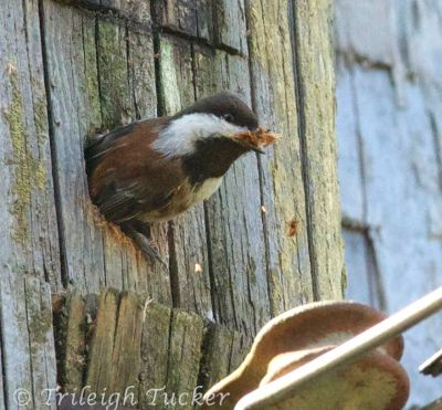 Chestnut-backed Chickadee exiting nest hole with a little bit more sawdust than he can carry