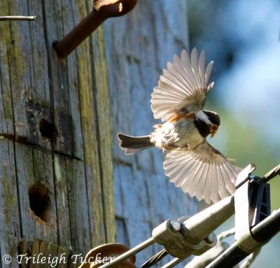 Chestnut-backed Chickadee removing construction debris from his home - now safe for children