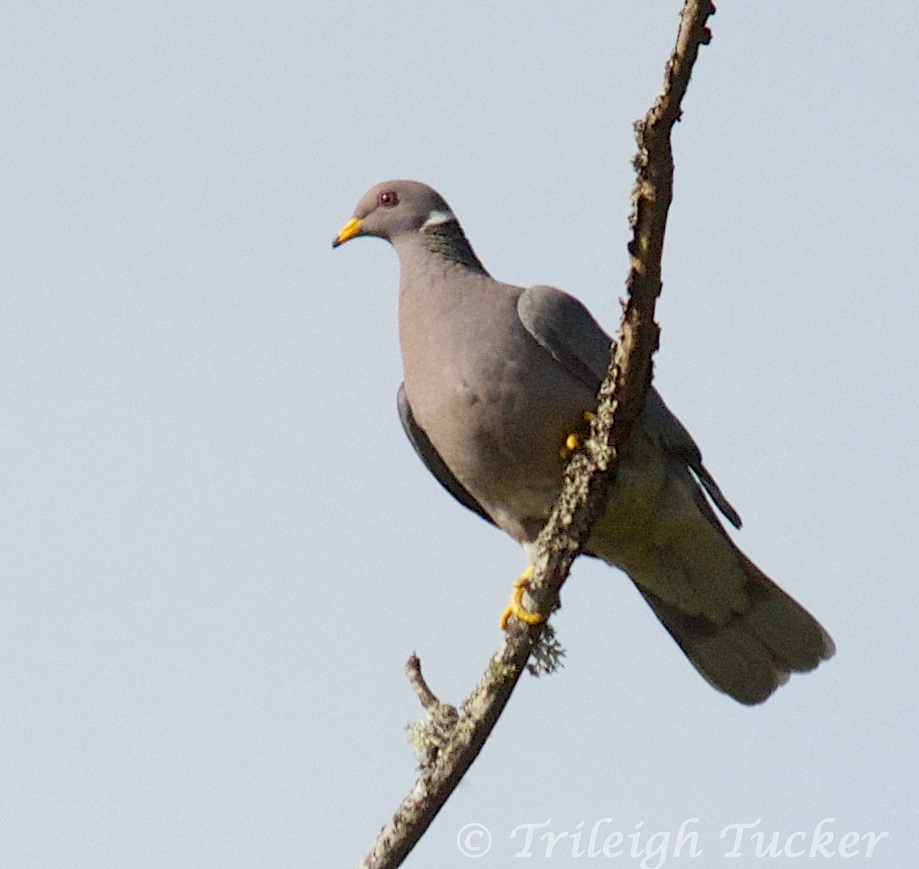 Lincoln Seattle: Band-tailed Pigeons