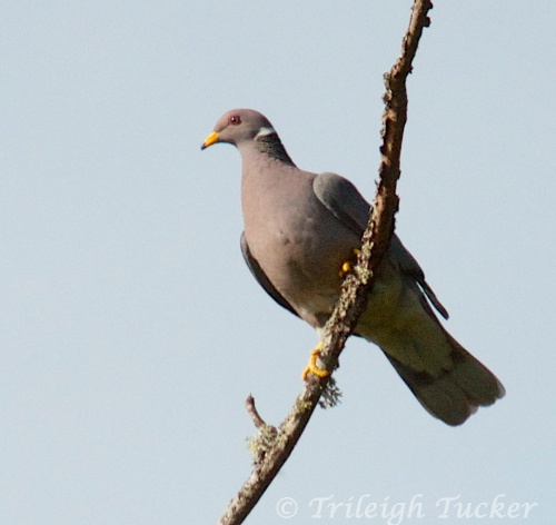 Band-tailed Pigeon, Lincoln Park, West Seattle