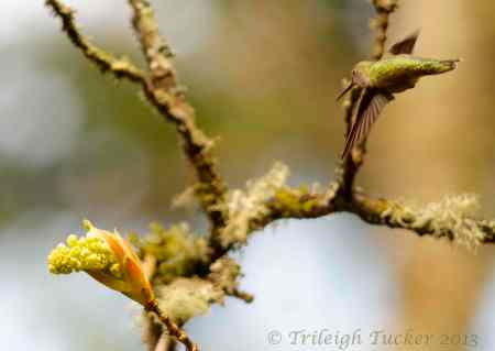 Anna's Hummingbird approaches Bigleaf Maple bud