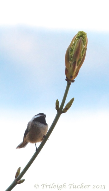 Black-capped Chickadee eyes Bigleaf Maple bud