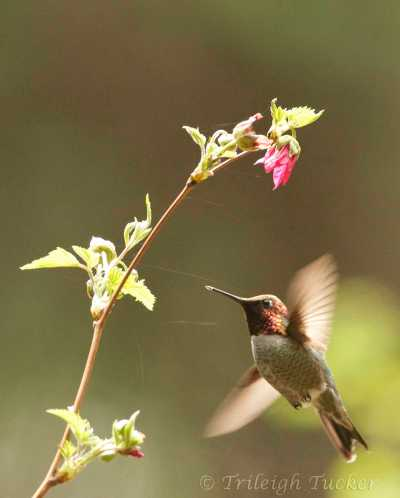 Anna's Hummingbird at salmonberry flower