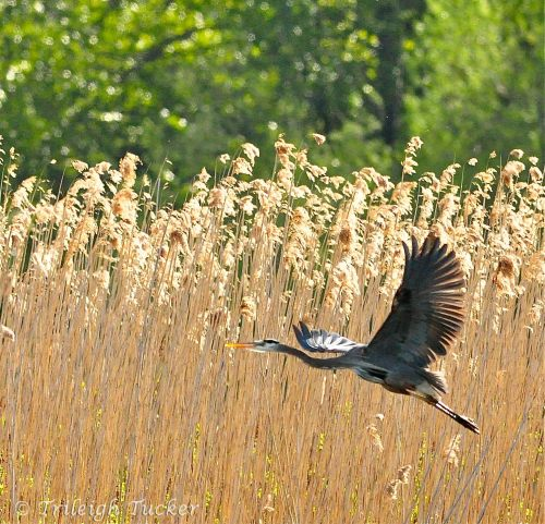Great Blue Heron in flight (Union Bay Natural Area, Seattle)