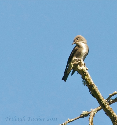 "Olive-sided Flycatcher: Notice tall slender shape, ""bib"""