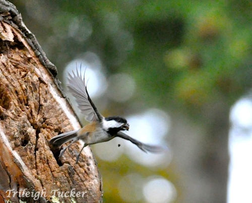 Black-capped Chickadee exiting nest, carrying out the garbage