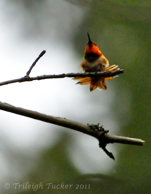 Rufous Hummingbird on Bigleaf Maple snag, now toppled