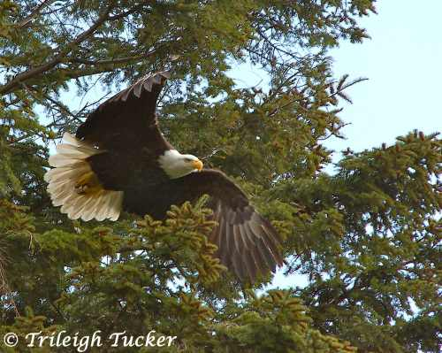 Bald Eagle, Lincoln Park, West Seattle