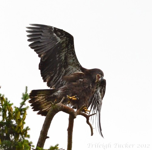 Recently-fledged eaglet jumps excitedly on branch