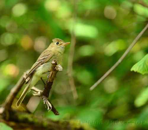 Pacific-slope Flycatcher: Notice slender appearance, asymmetical eye-ring