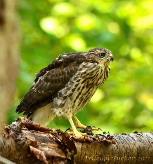 Juvenile Cooper's Hawk, Lincoln Park, West Seattle