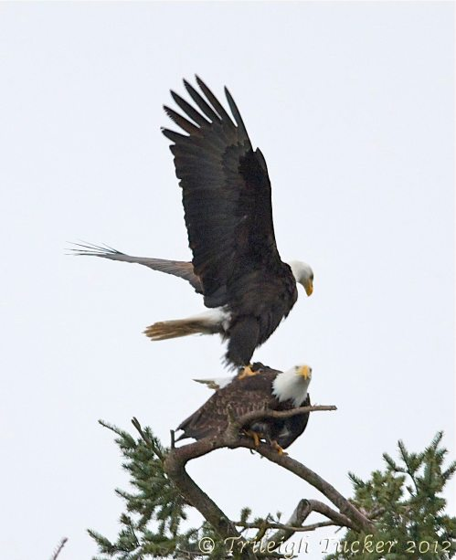 Male eagle dismounts after mating