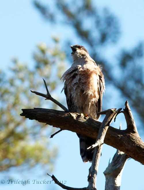 Cooper's Hawk, Lincoln Park, West Seattle