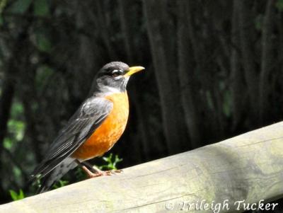 Male American Robin