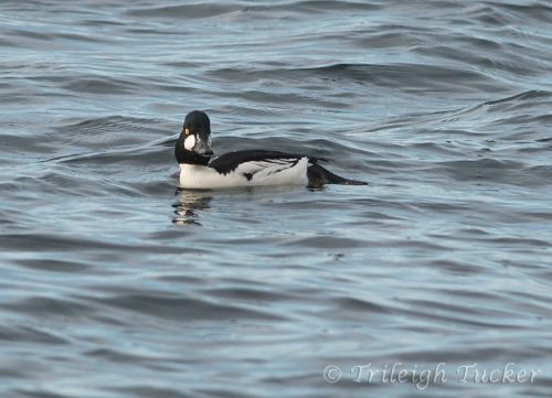 Common Goldeneye along Lincoln Park shoreline