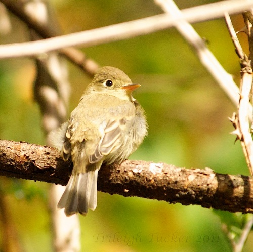 Hammond's Flycatcher: Note almost-symmetrical eye-ring and puffy appearance