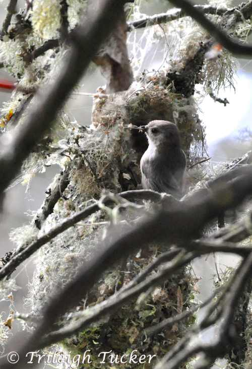 Proud bushtit with twig at nest entrance Lincoln Park, West Seattle