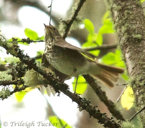 Hermit Thrush, Lincoln Park, West Seattle (Thanks to Mike Pirebe for the ID)