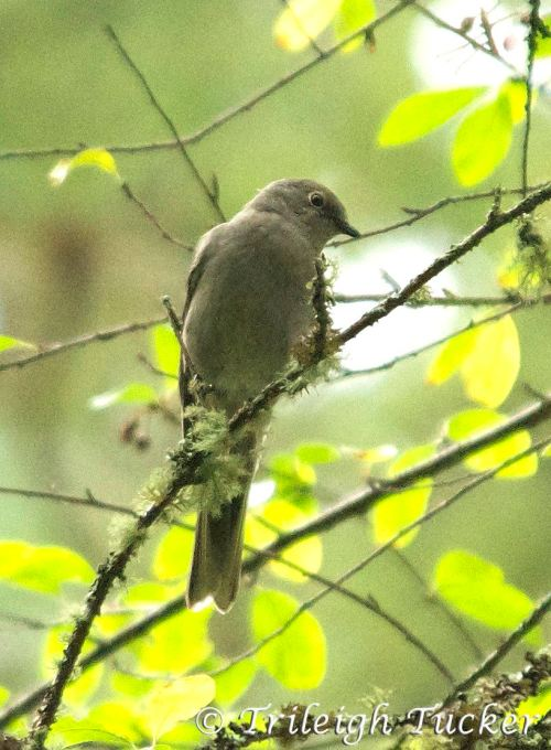 Townsend's Solitaire, Lincoln Park, West Seattle