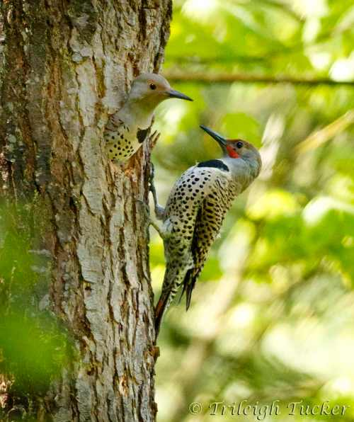 Northern Flicker pair greeting each other at nest hole Lincoln Park, West Seattle