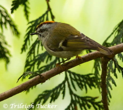 Golden-crowned Kinglet showing red part of crown