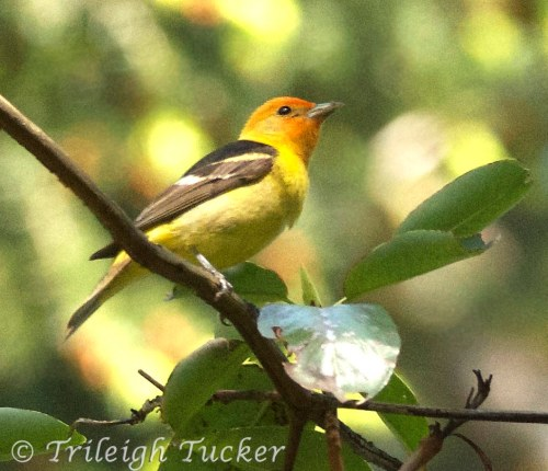 Western Tanager, Lincoln Park, West Seattle