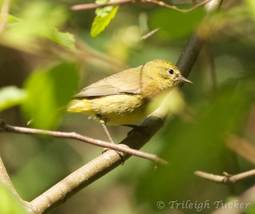Orange-crowned Warbler,  Lincoln Park, West Seattle