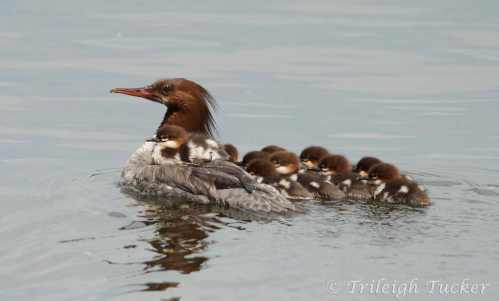 Common Merganser female with newly hatched brood (Seward Park, Seattle)