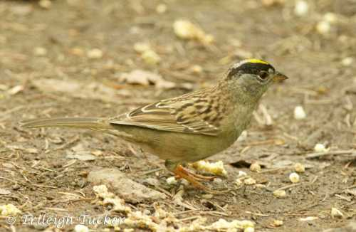 Golden-crowned Sparrow (Seward Park, Seattle)