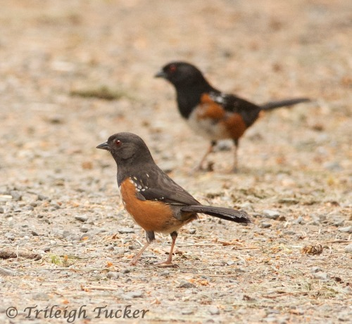 Spotted Towhees, female (foreground) and male Lincoln Park, West Seattle