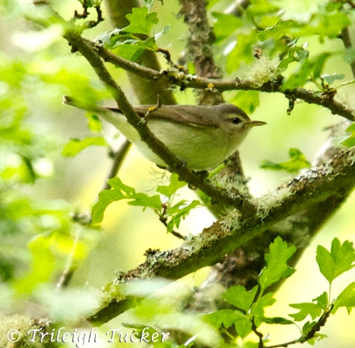Warbling Vireo Lincoln Park, West Seattle