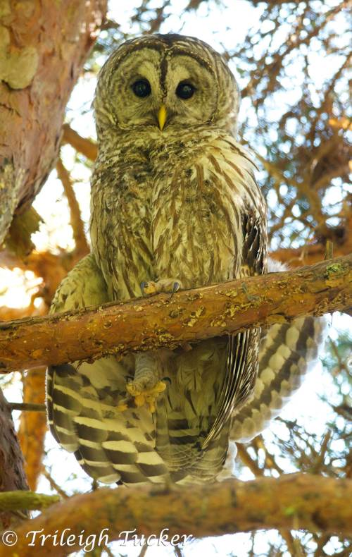 Barred Owl stretches leg and wings Lincoln Park, West Seattle